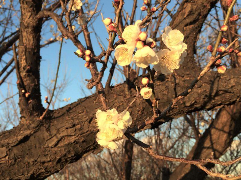梅の花とツボミ